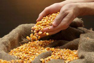 Conheça mais sobre 3 tipos de milho