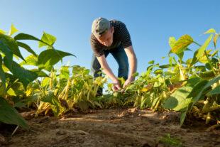Boas práticas que o produtor deve ter na lavoura do feijão