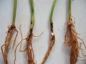 Podridão de raízes, a doença do feijão