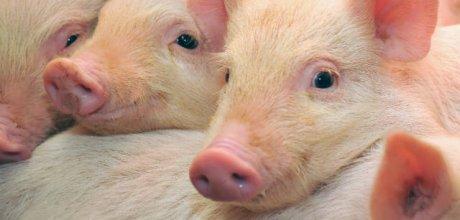 Demanda mais fraca no atacado de carne suína