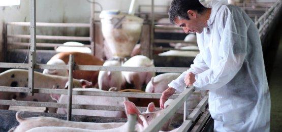 Outubro inicia com estabilidade nos preços do suíno