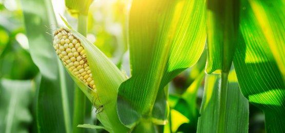 Chuvas reduzem movimento de alta dos preços do milho, aponta Cepea