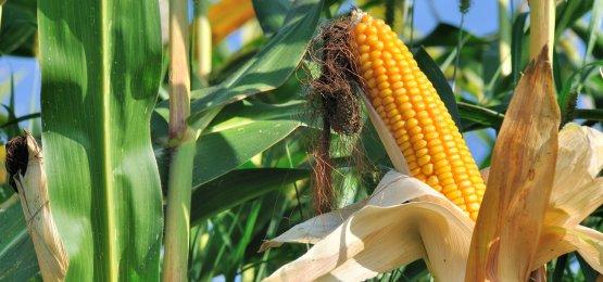 Falta de chuvas reduz prognóstico para milho em 2018, aponta IBGE