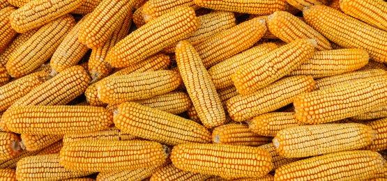 Com produção recorde, valores do milho caem no Brasil