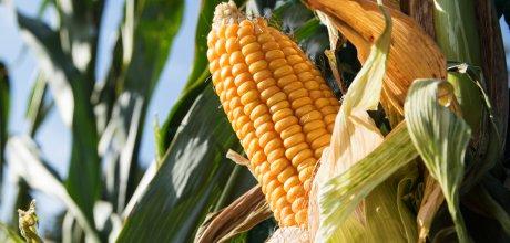Milho: Cotação no Brasil tem leve alta com exportações aquecidas