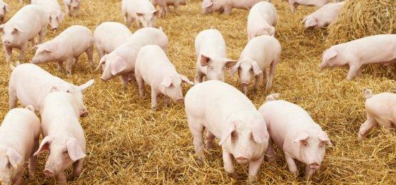 Com negociações baixas, preços do suíno se mantêm estáveis