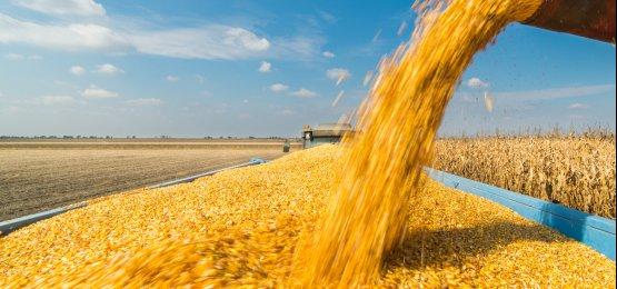 Queda na colheita de milho preocupa agronegócio de SC