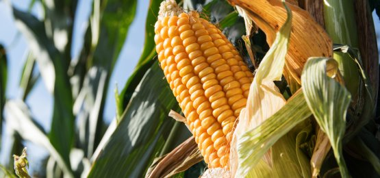Preços do milho apresentam alta em fevereiro