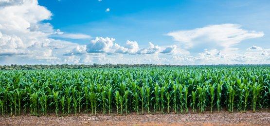 Milho: com pressão da colheita e impasse do frete, preços recuam e negócios seguem lentos no Brasil