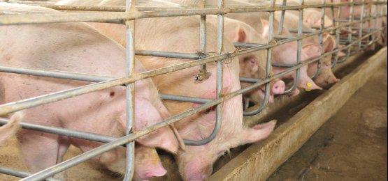 Preços do suíno vivo registram queda na maior parte dos estados