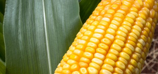 Milho: segundo CEPEA, exportação em bom ritmo mantém preço em alta