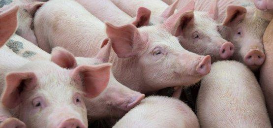 Quantidade de carne suína exportada em agosto é 15% menor que agosto de 2018