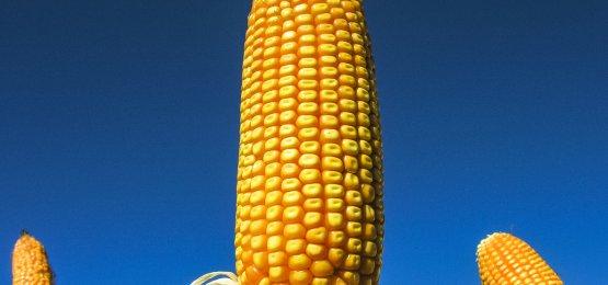 Preços do milho mais baixos neste começo de terça-feira
