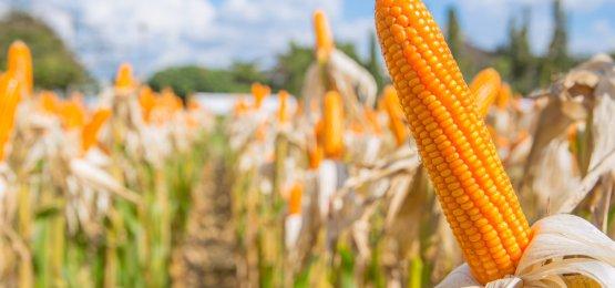 Preços de milho continuam em alta, mas a produtividade preocupa